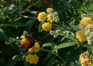 Buddleja weyeriana 'Sungold' / 'Golden Glow'